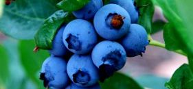 Blueberries are ripe