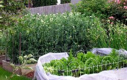 Grown peas in 2006