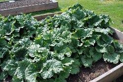 Rhubarb bed April 18