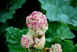 Rhubarb flower
