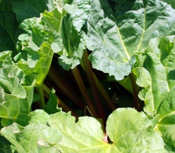 Rhubarb on May 1