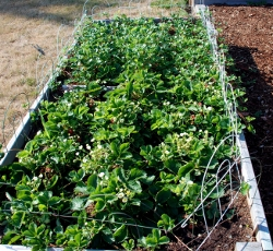 The strawberry bed in July