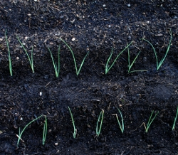 Leek seedlings in rows