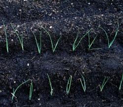 Leek seedlings in rows