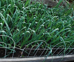The leek seedlings in October