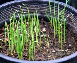 Leek seedlings June 23, 2009