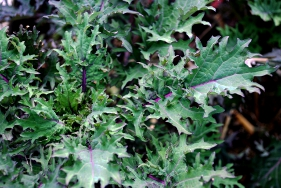 Winter Red Kale