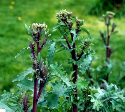 Kale flowering stalks