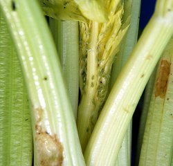 Aphids and slug damage on celery