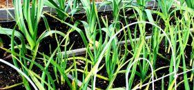 Oh Those Alliums