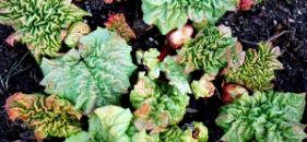 Pie Plant Heaven