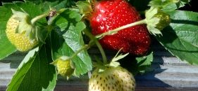 Strawberries alive and well