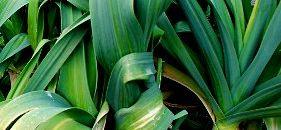 The Gourmet's Onion: Leeks