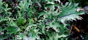 Winter Kale